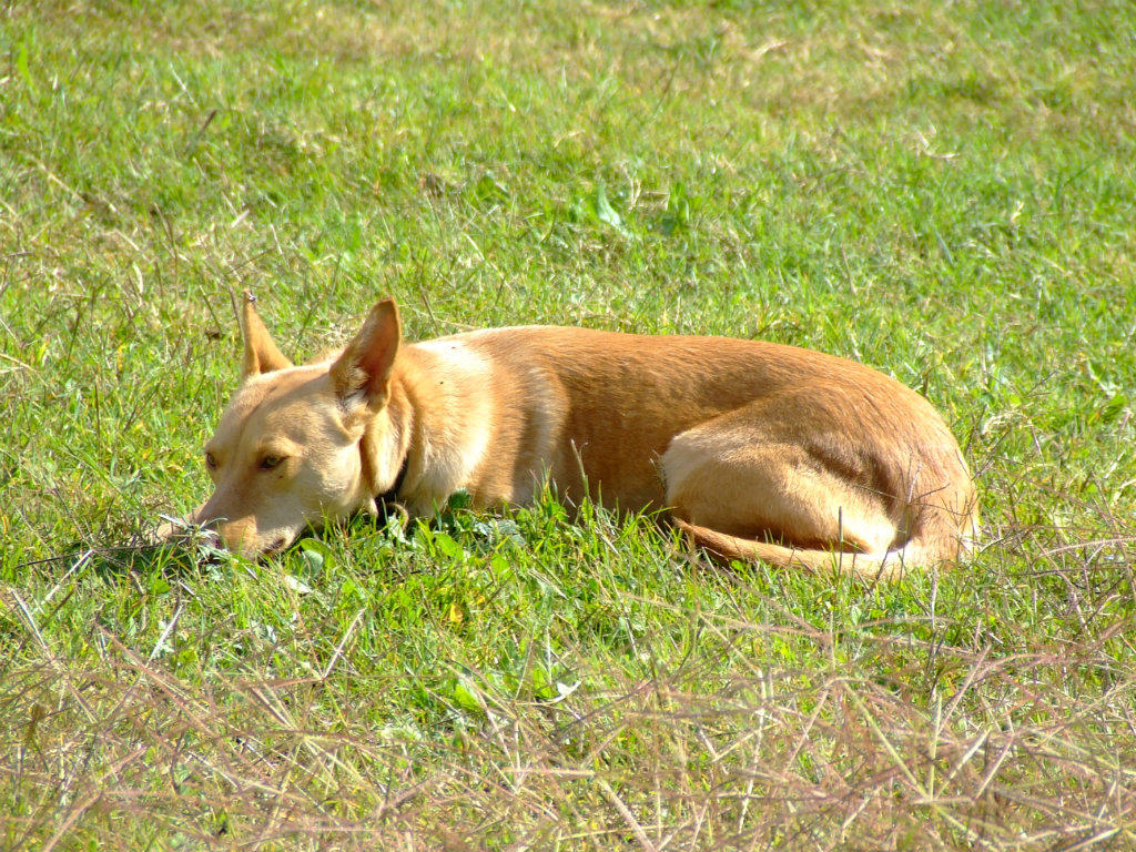 Cars For Sale Rockhampton >> FOR SALE: PB Kelpie: Yellow/Cream Bitch Approx 18mths old