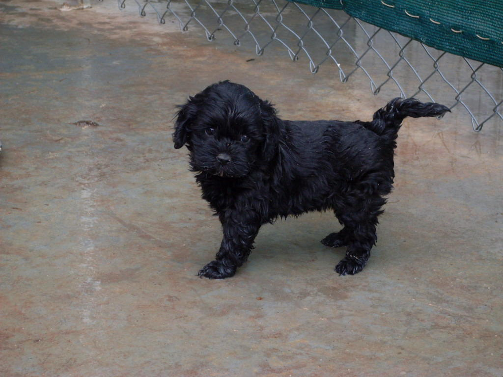 For Sale Pugoodle Pugapoo Puppies