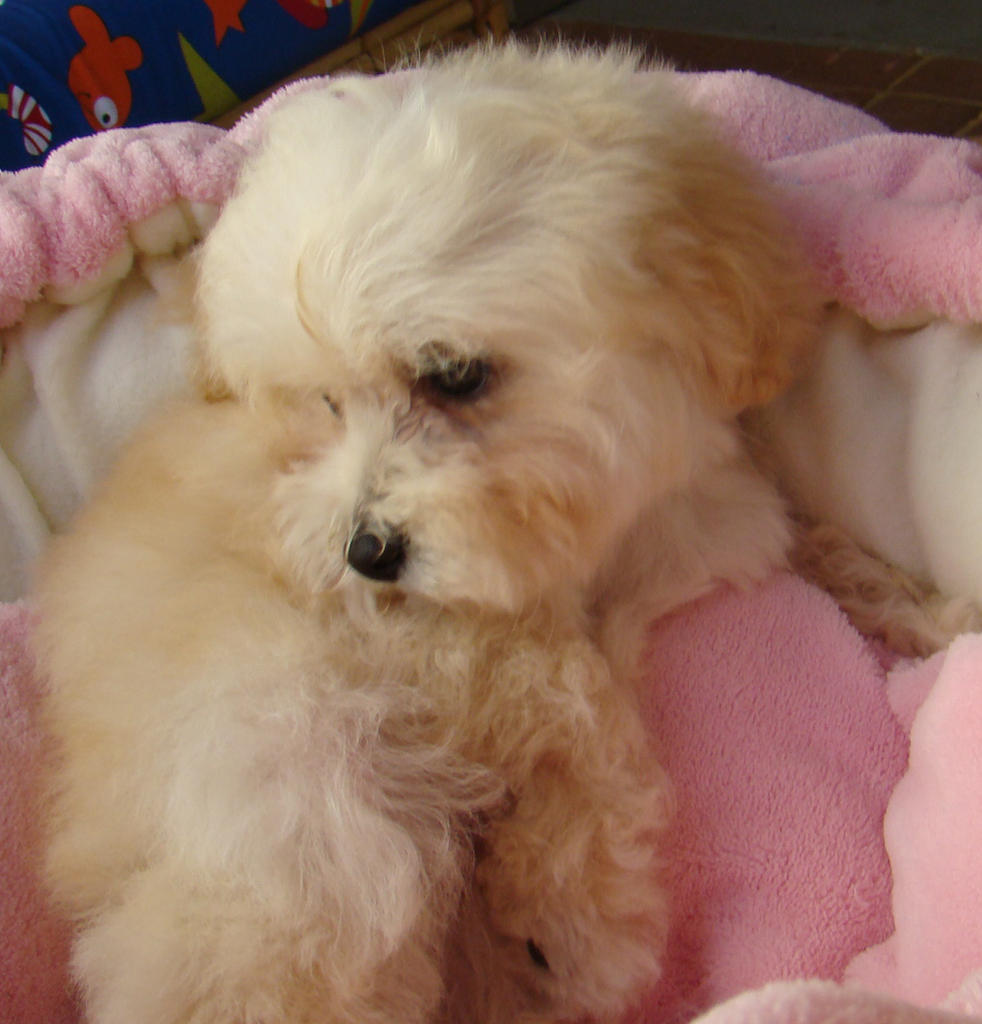 For Sale Maltese X Toy Poodle Moodle 9 Week Male Fema