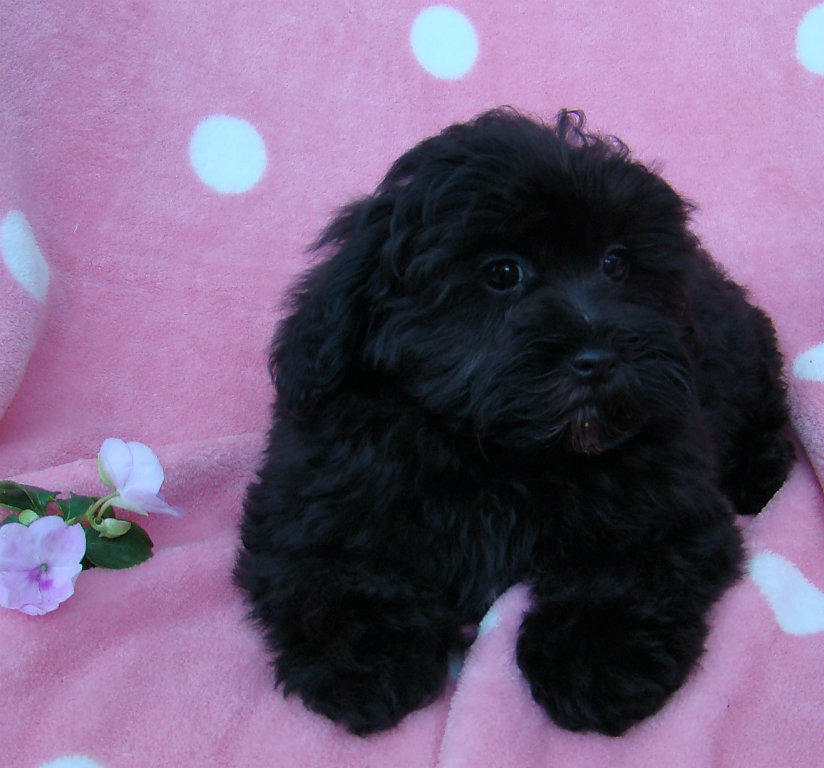 For Sale Lhasa Apso X Toy Poodles Non Shedding Girls