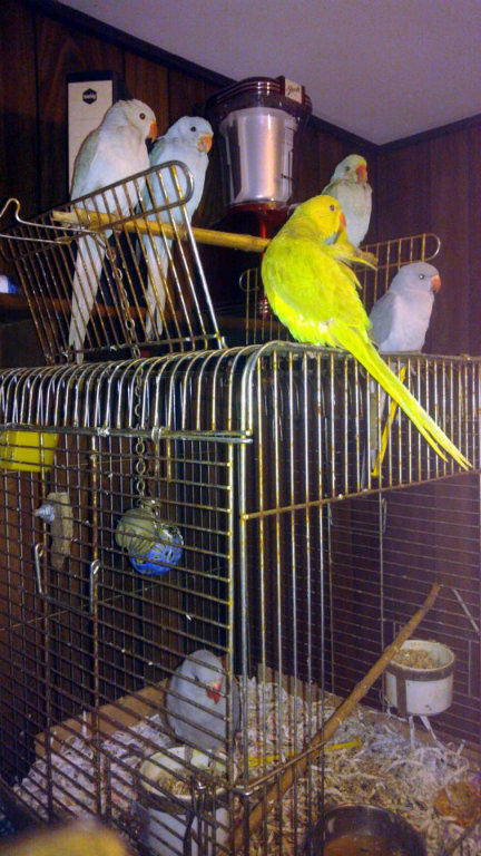 For Sale Indian Ringnecks Cockatiels Cages