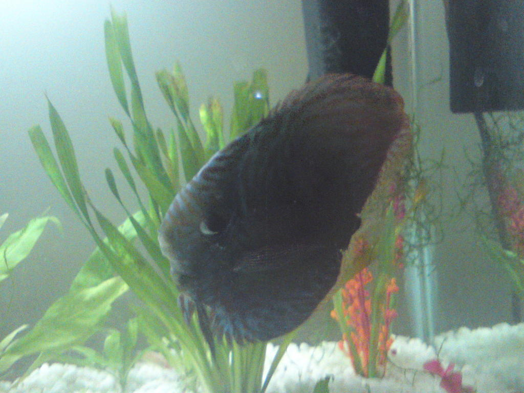 For sale blue discus tropical fish for Discus fish for sale near me
