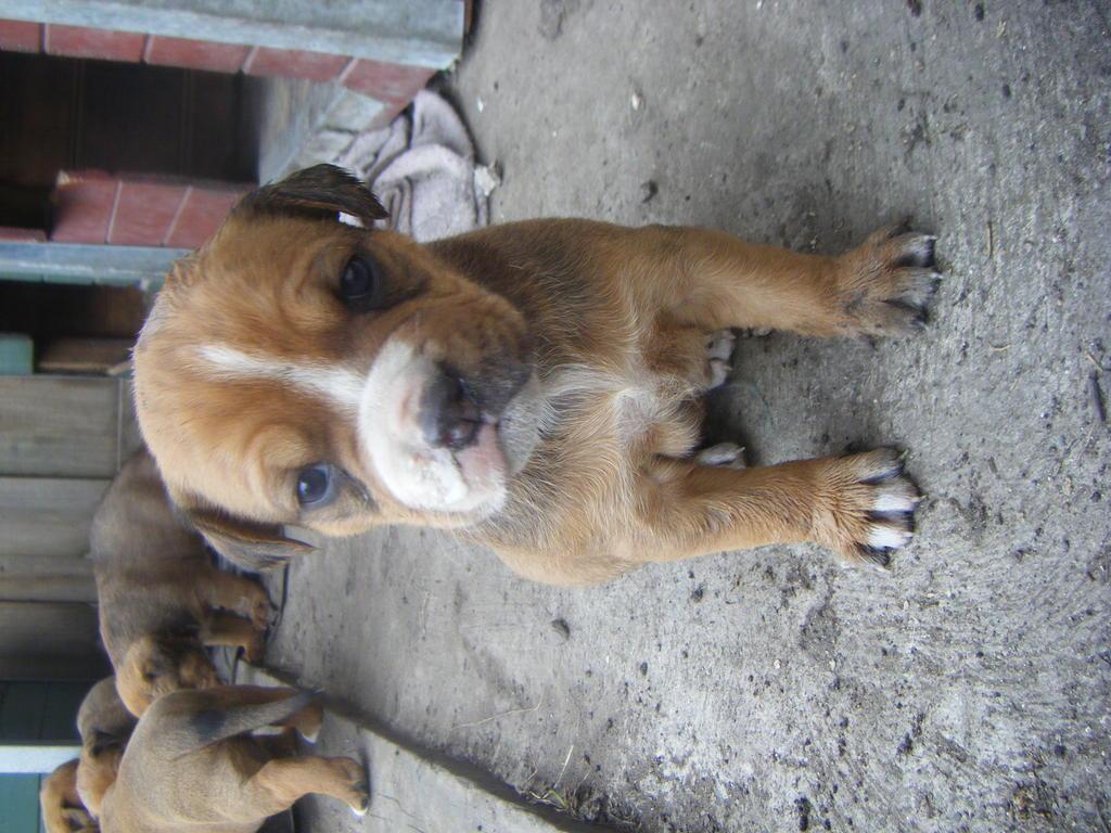 For Sale Rottweiler X American Bulldog