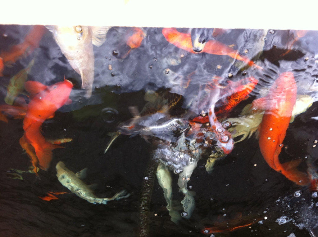 For sale japanese koi fish for Benigoi koi for sale