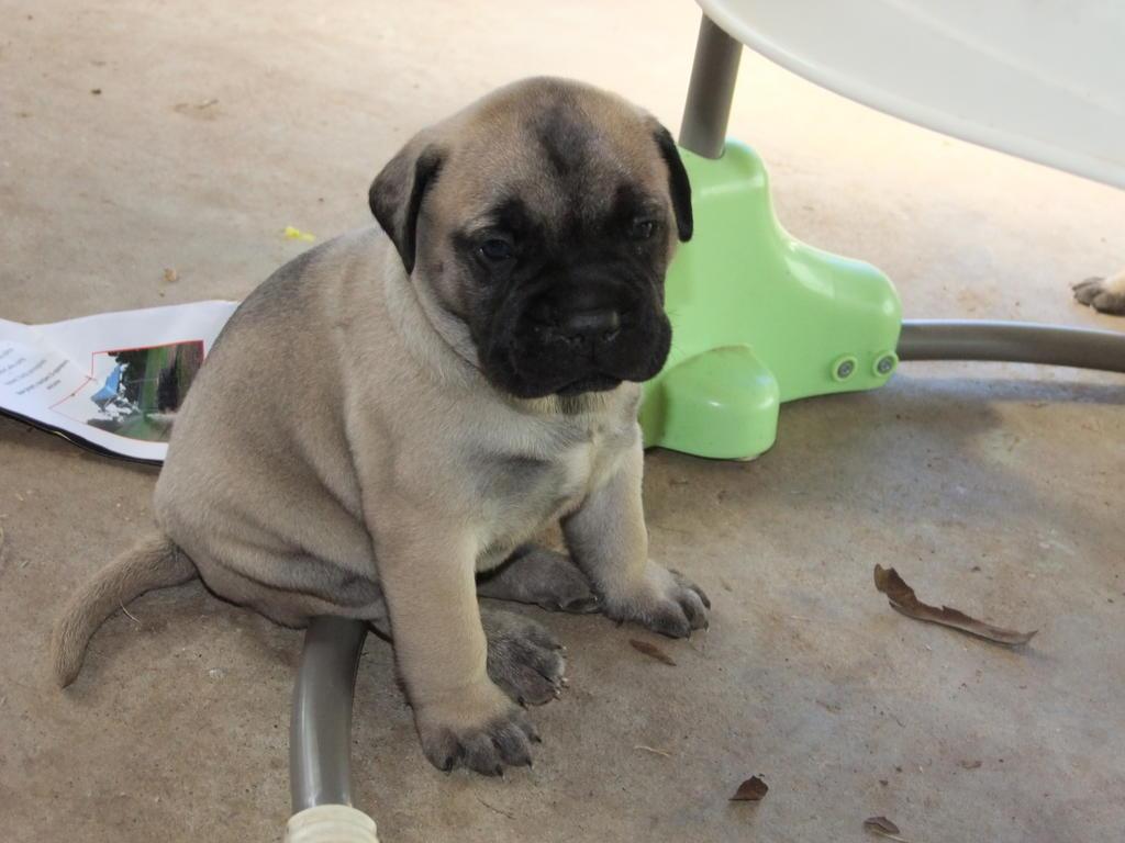 for sale  pedigree bullmastiff puppies