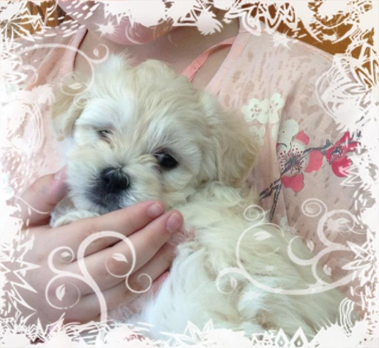 for sale  maltese x shihtzu x poodle puppies