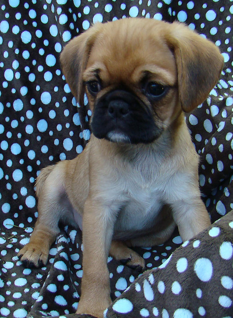 For Sale Pugalier Drop Dead Gorgeous Magda 9 Weeks