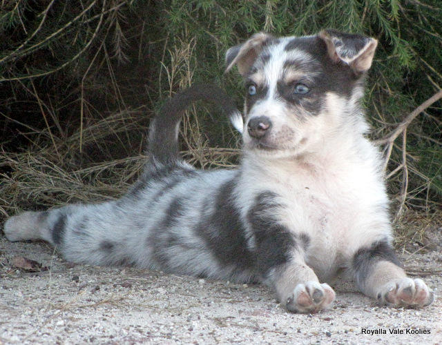 For Sale Australian Koolie Pups