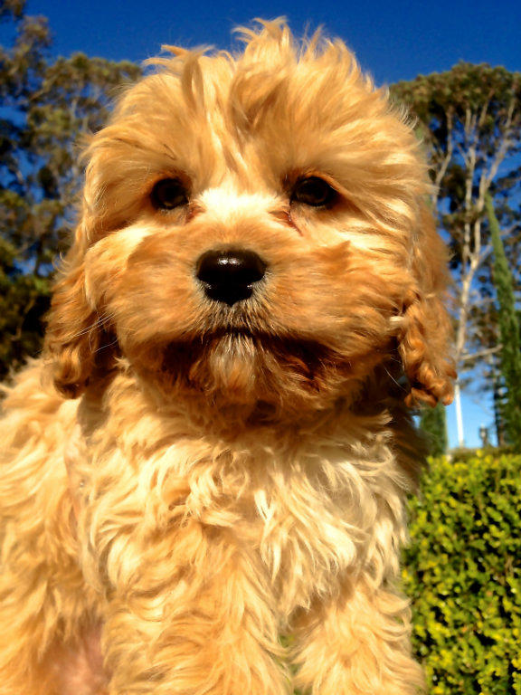 For Sale Ruby Red Amp Rich Apricot Caramel Cavoodle Puppies