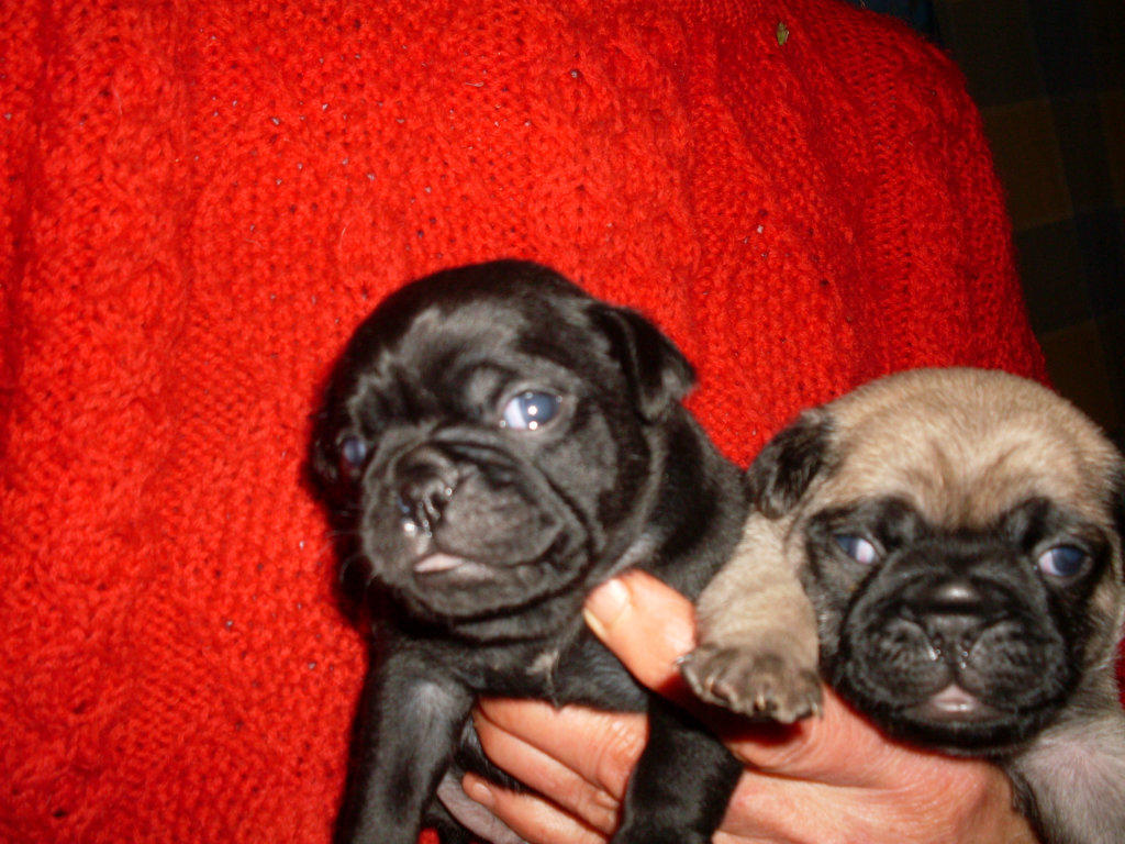Jug Dogs For Sale Ipswich