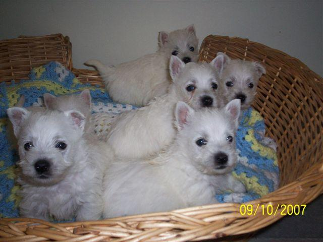West Highland White Terrier Breeders Qld FOR SALE: West highlan...