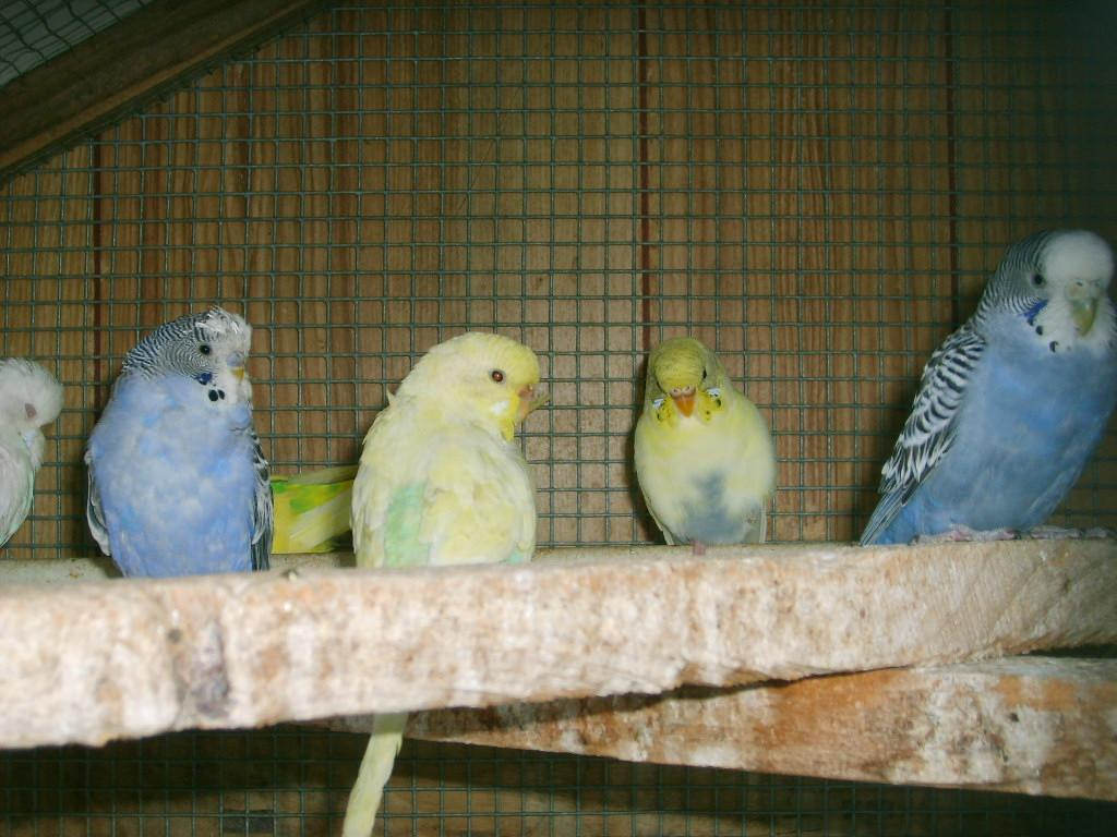 For Sale Handraised Budgies