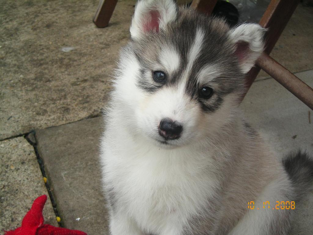 Electric Cars For Sale >> FOR SALE: Siberian husky