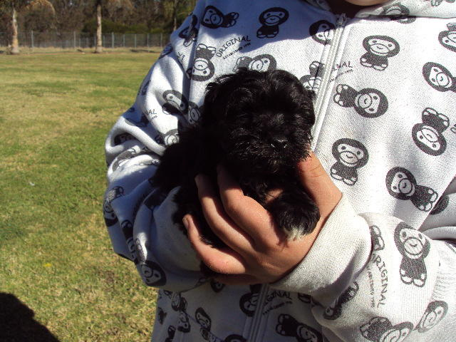 for sale  moodle puppies-maltese x toy poodle