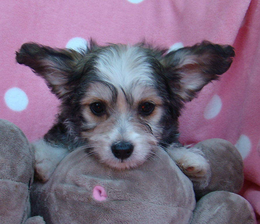 For Sale Chinese Crested Powder Puffs M Amp Fs Non Shedding