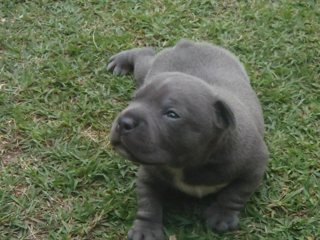 Pug Puppies For Sale Oregon Pug Breeders Dog Breeds ...
