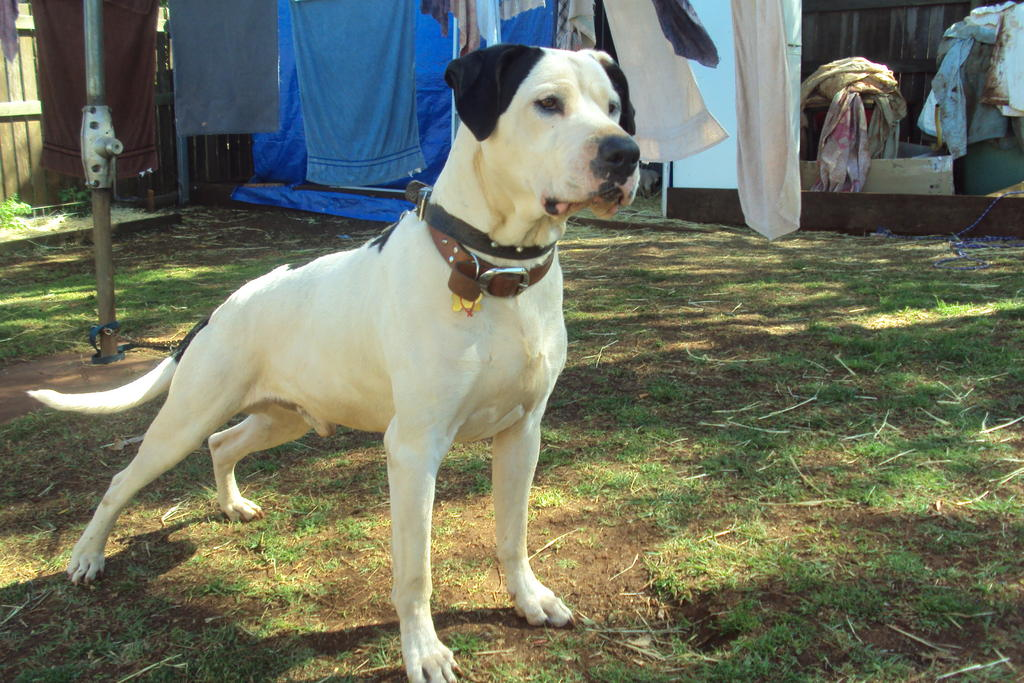 Pig Dog Pups For Sale Qld