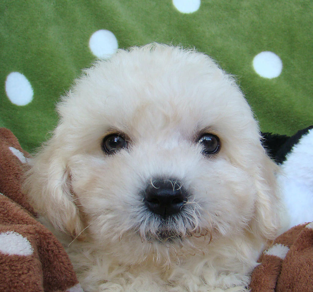 Pics Photos - Bichon Frise Mini Poodle Puppies Stratford Ontariofor