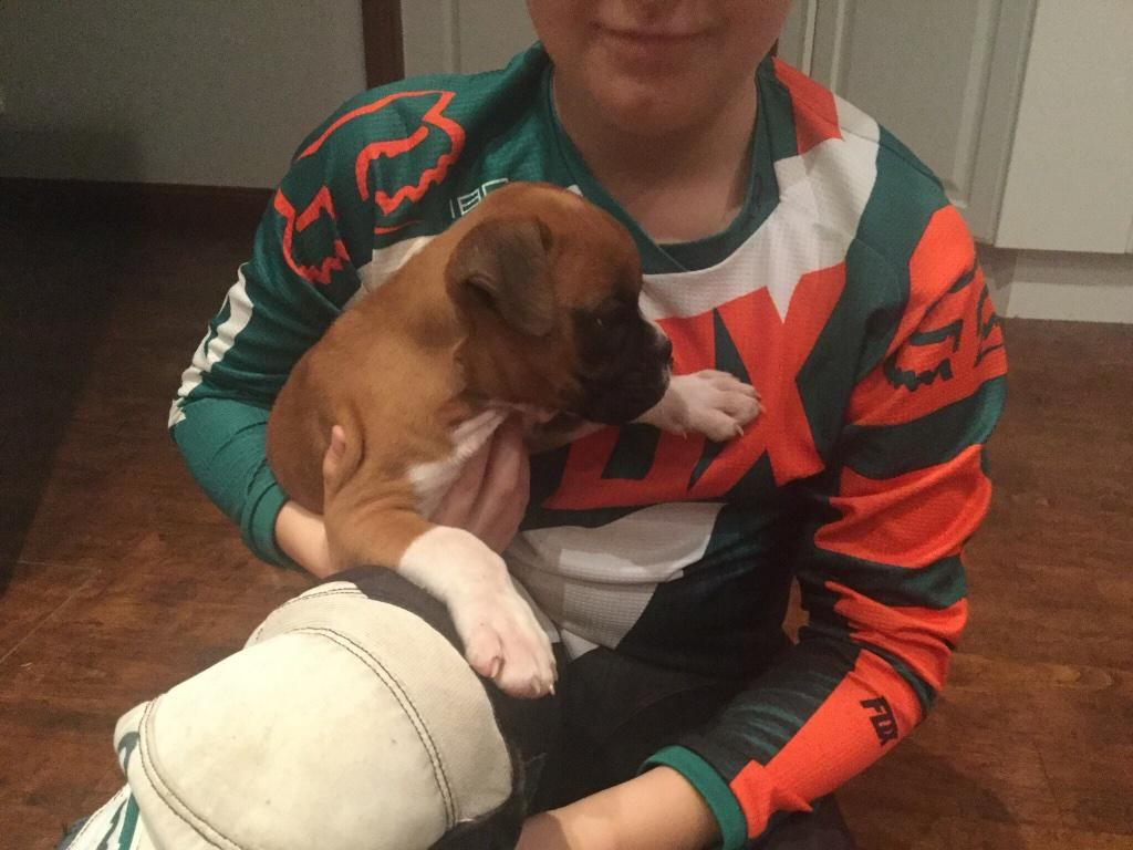 For Sale Boxer Pup