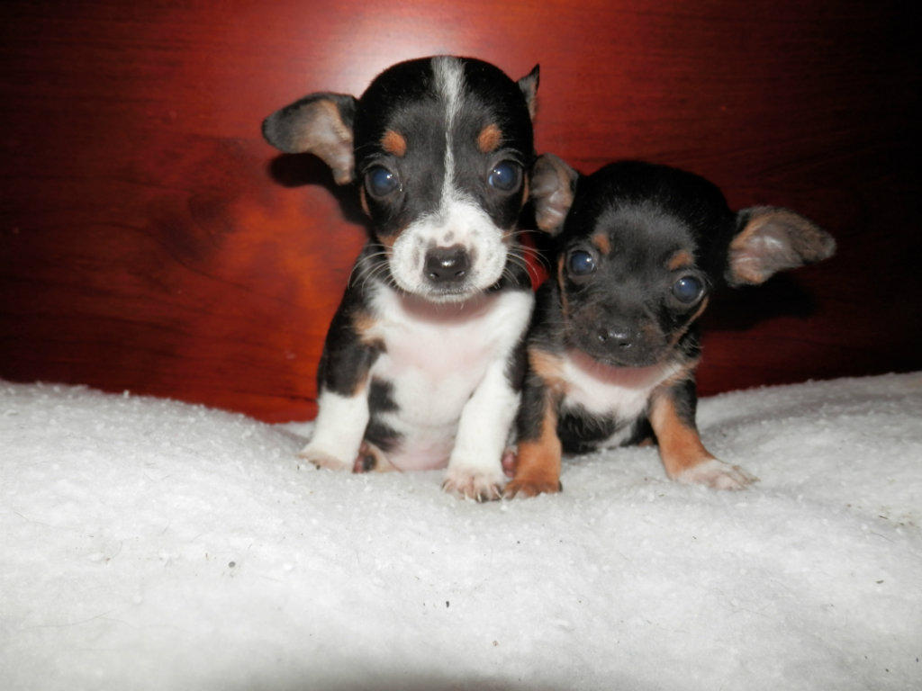 Puppies for sale casino nsw