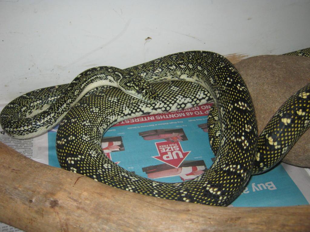 For Sale Diamond Python