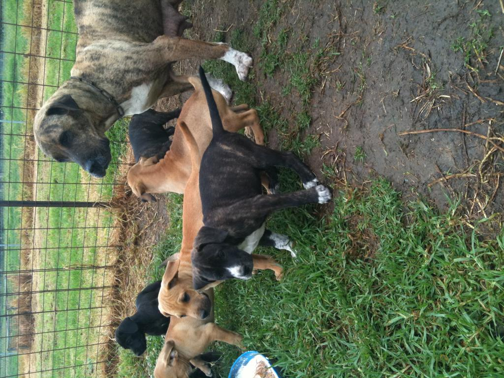 Pig Dog Pups For Sale Nsw