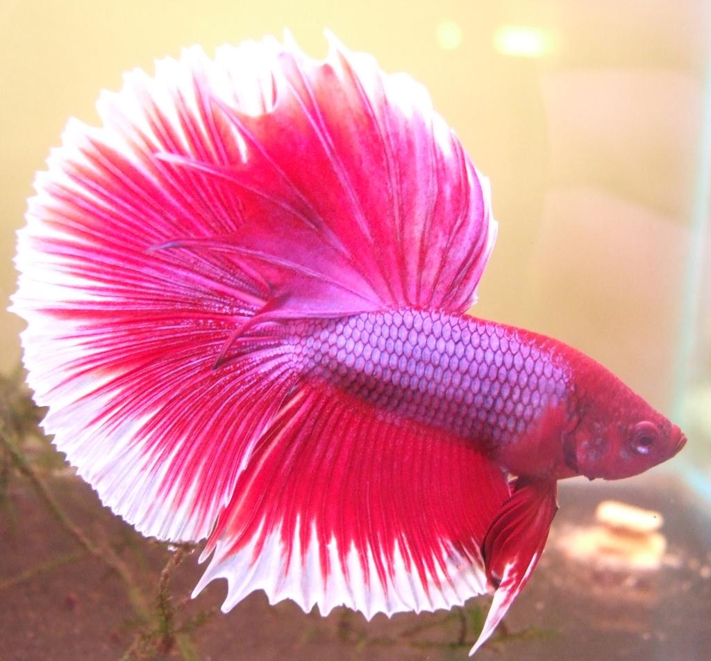 For sale fs lavender halfmoon male betta for Purple betta fish for sale