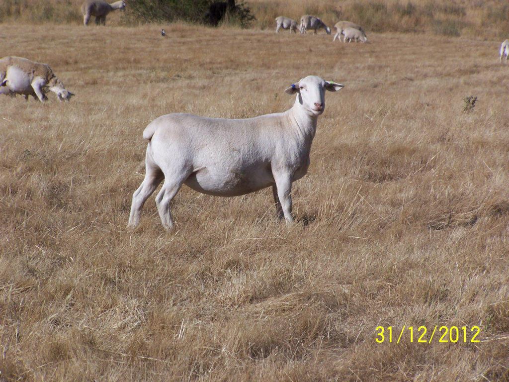 For Sale White Dorper Ewes