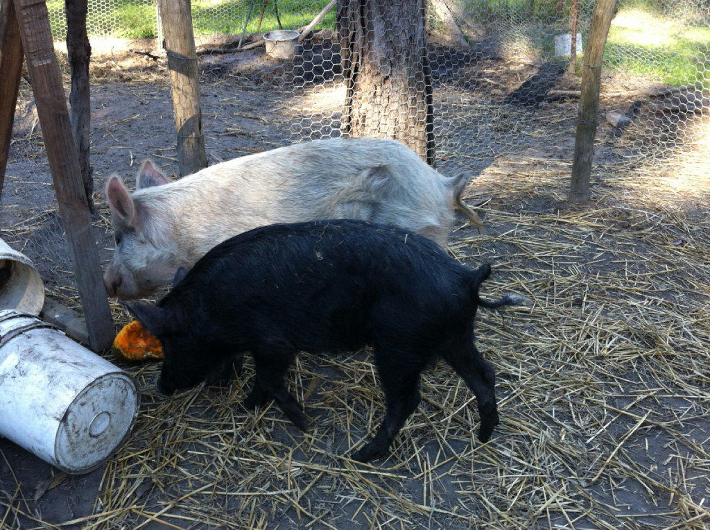 For Sale Mini Pigs Two Adults 100 For Breeding Pair