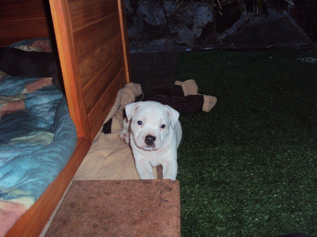 purebred english staffy pups for sale with papers