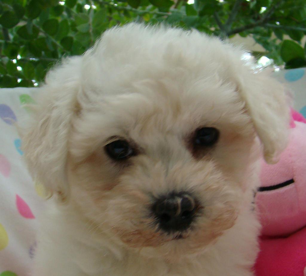 Non Shedding Dogs For Sale Perth