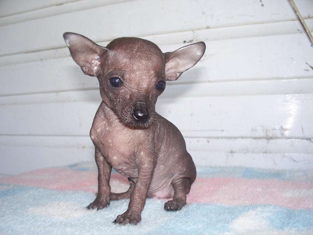 For Sale Chihuahua X Chinese Crested