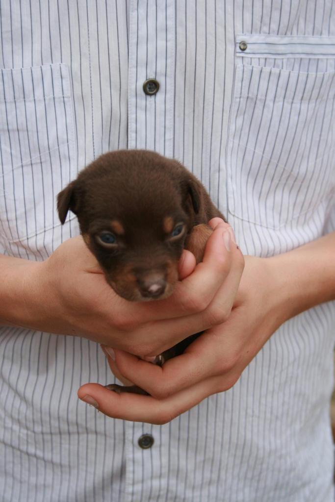 For Sale Pure Kelpie Puppies