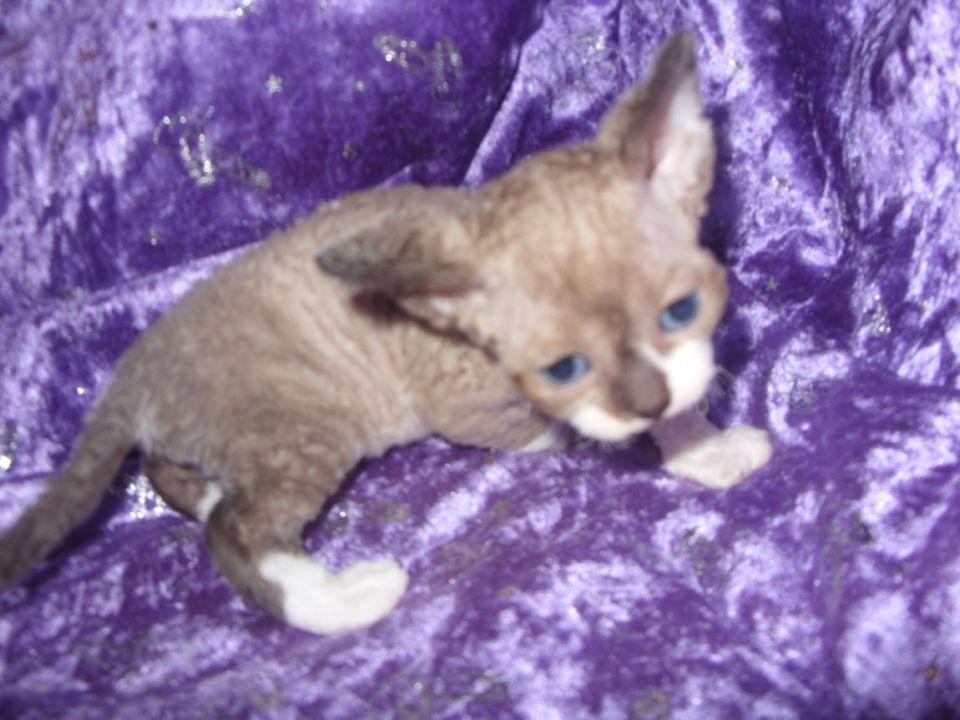 For Sale Devon Rex Kittens Perth