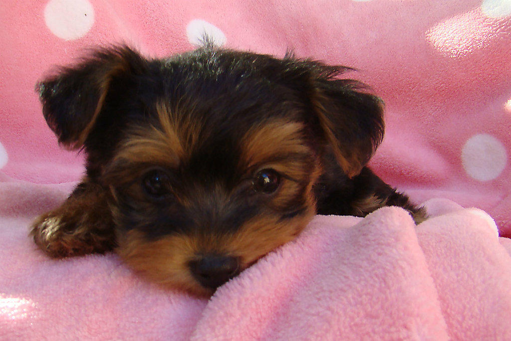 For sale yorkshire terrier x toy poodle tiny peewee 10