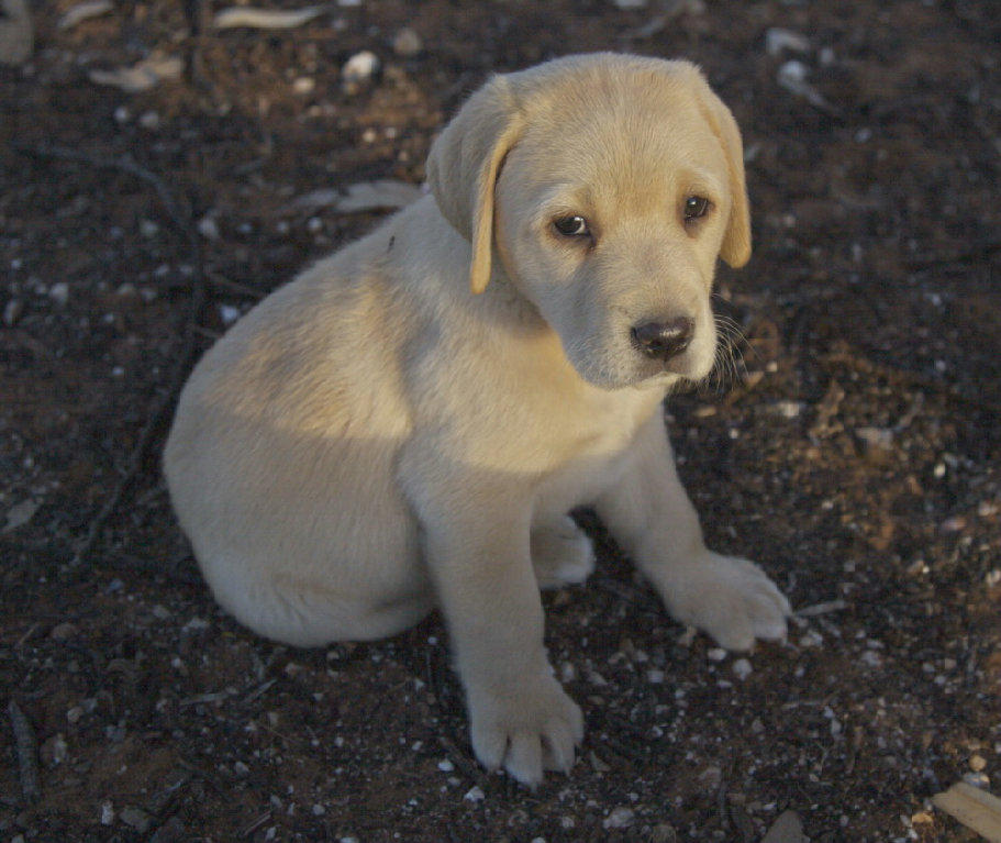 For Sale Labrador Golden Pure Bred Puppies Adorable