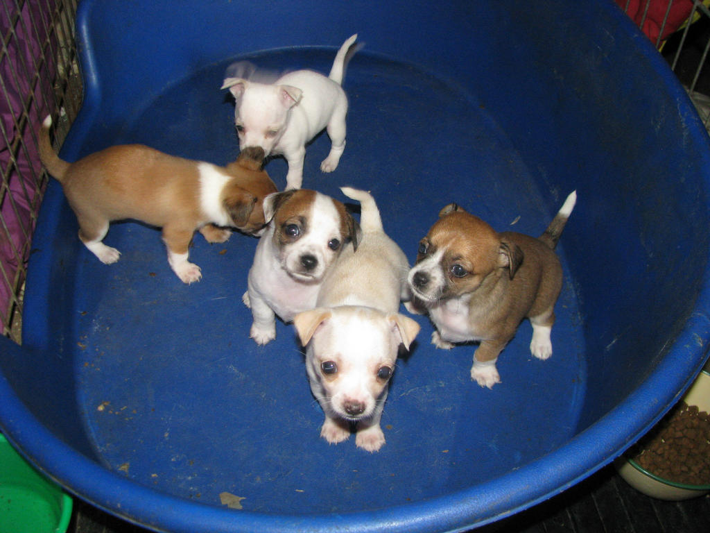 FOR SALE: PUREBRED CHIHUAHUA PUPPIES