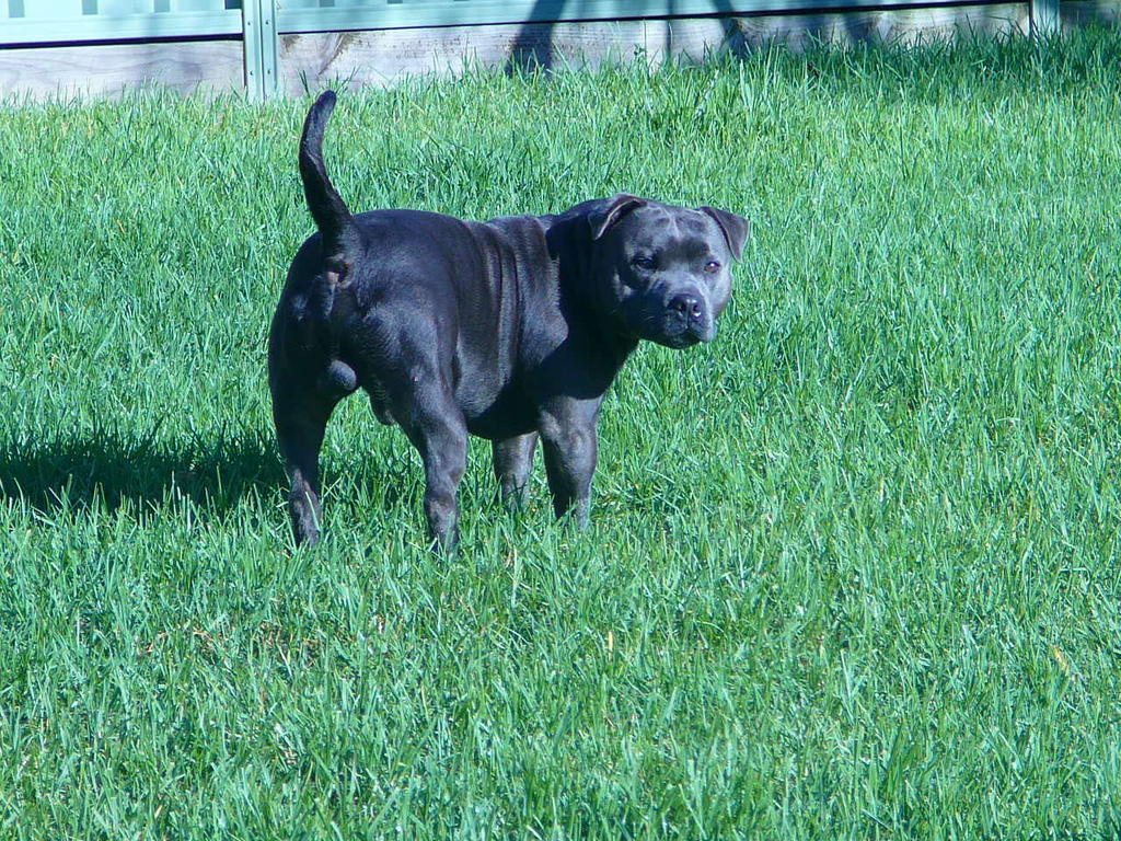 english staffordshire terrier for sale for sale blue english staffordshire bull terrier 619