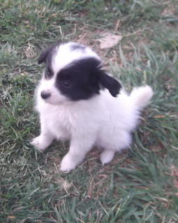 Papillon Dogs For Sale Nsw