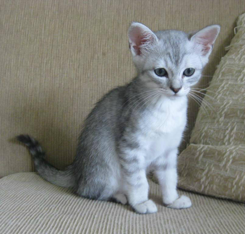 Burmilla Cats For Sale Perth