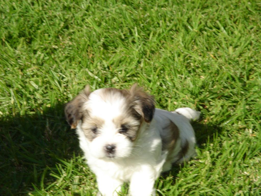 for sale  maltese shih tzu puppies