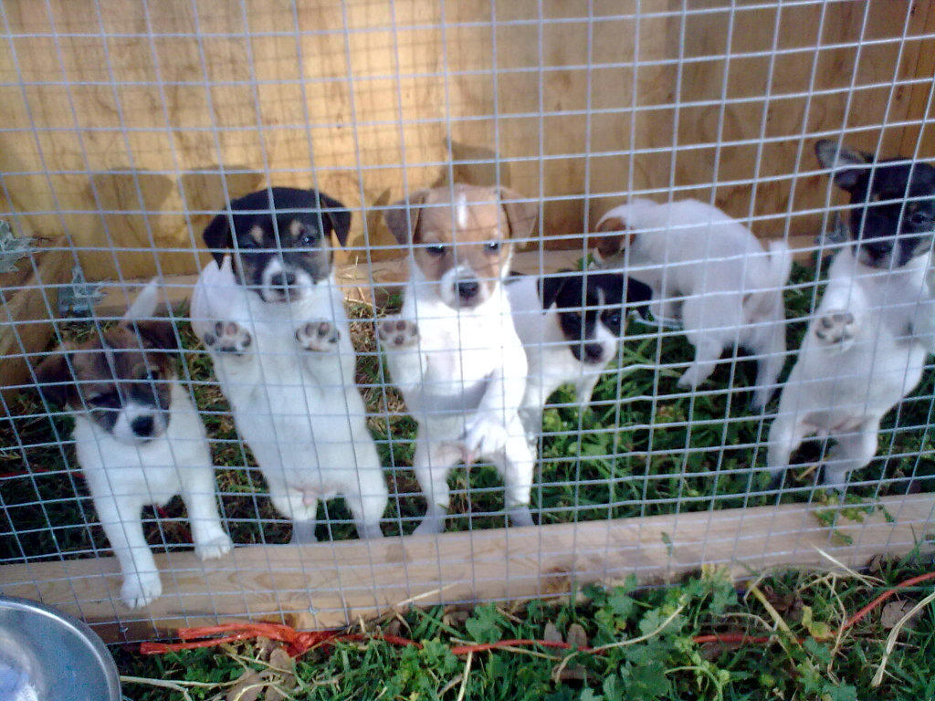 For Sale Mini Foxie Cross Jack Russell Puppies