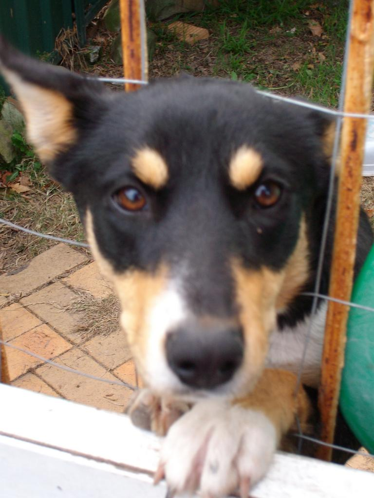 For Sale Free Border Collie Kelpie Cross