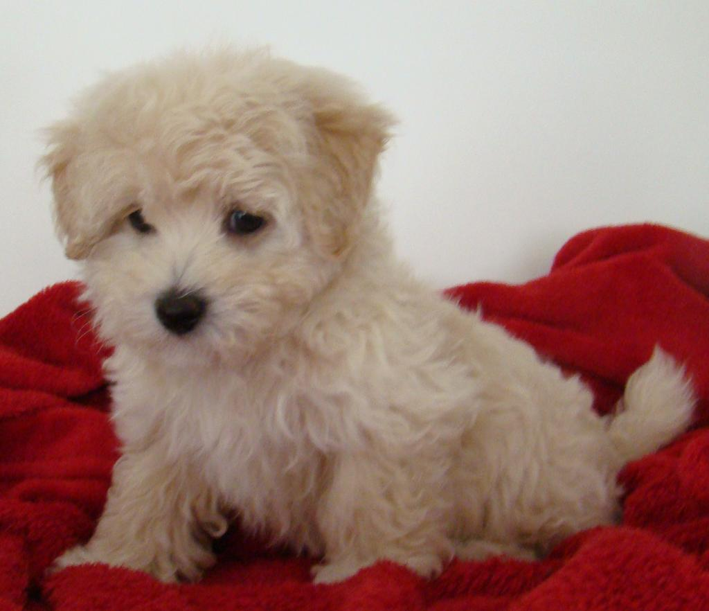 For Sale Maltese X Toy Poodles Moodles All Females 9 Week