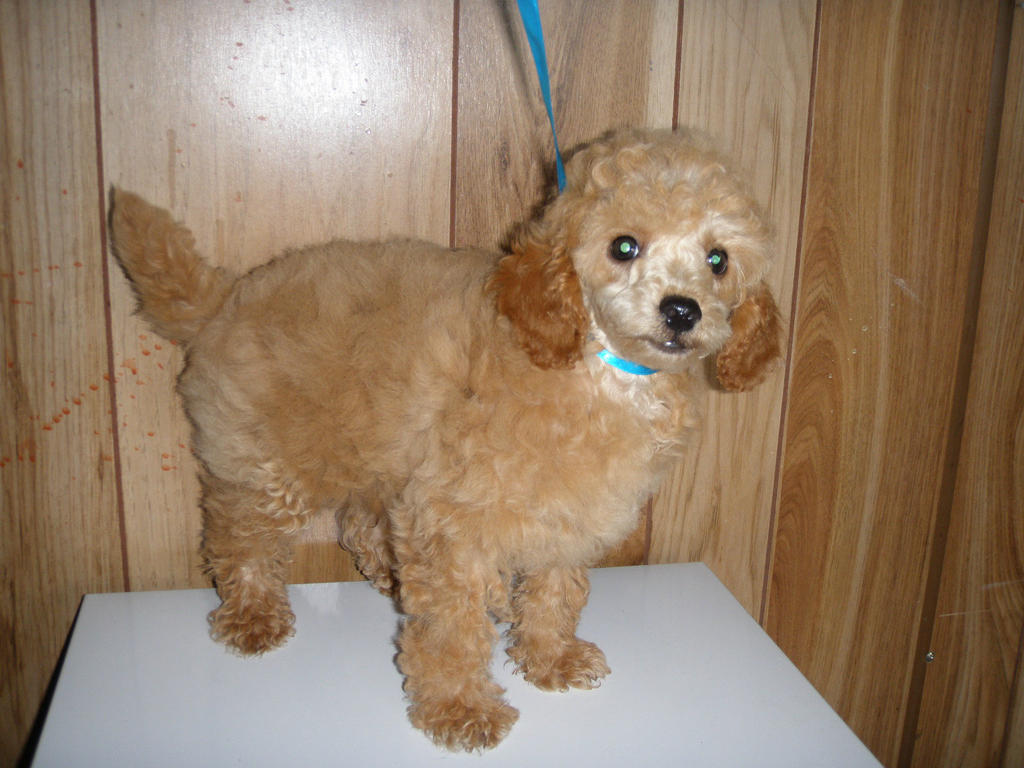 For Sale Toy Poodle Male Cream 10 Weeks Old