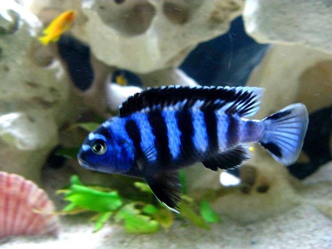 For Sale Cichlids F S Tropical Fish F S