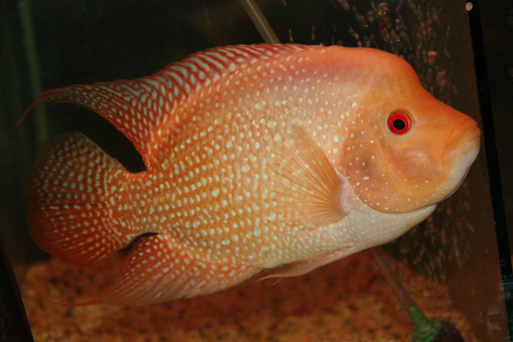 For sale flowerhorn fish for Flowerhorn fish for sale
