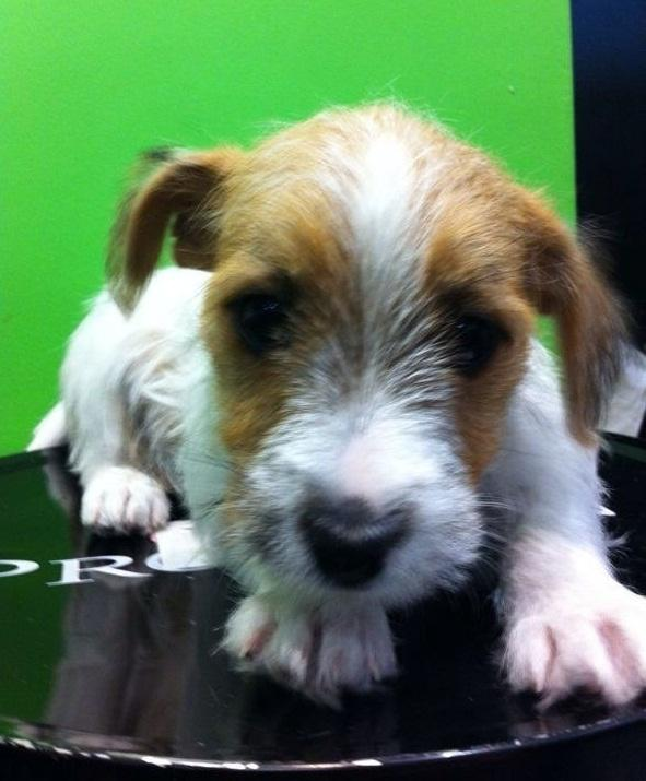 FOR SALE: Long Hair Jack Russell Puppies