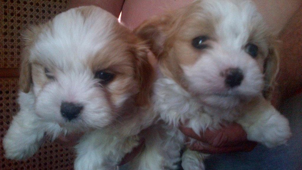 Cavoodle Rescue Dogs Brisbane