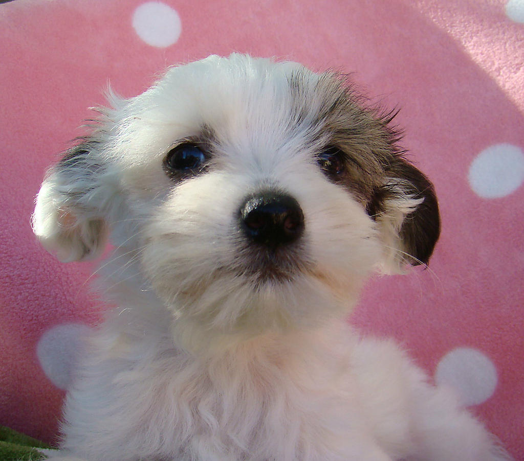For Sale Chinese Crested Powder Puff Willy Non Shedding